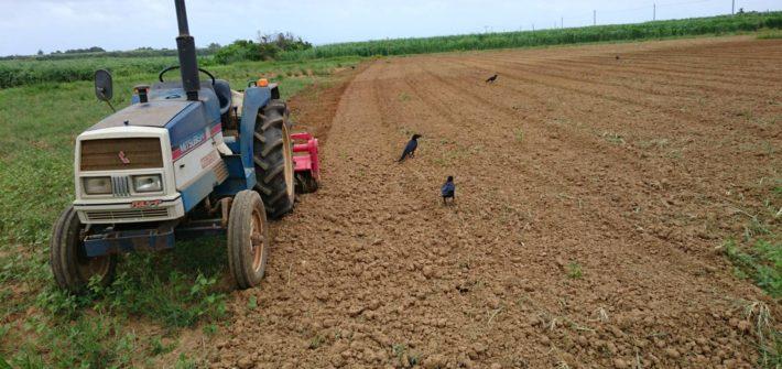 畑を耕した後に集まるカラスたち